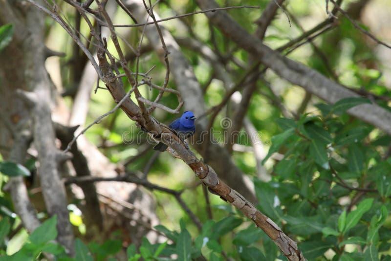 De zwarte naped monarch of zwart-naped blauwe vliegenvanger, Hypothymis-azurea, het Nationale Park van Tadoba, Chandrapur, Mahara stock foto's