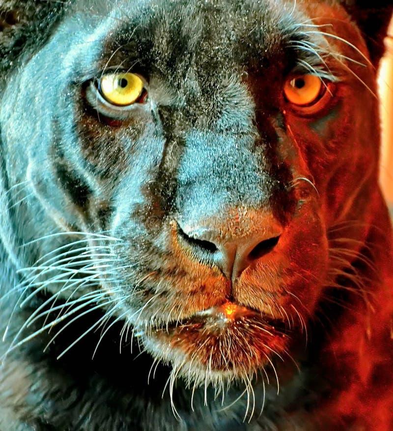De zwarte Panter Latijnse Panthera is een zeldzaam dier in aard Haar schoonheid is boven alle twijfel verheven royalty-vrije stock afbeeldingen