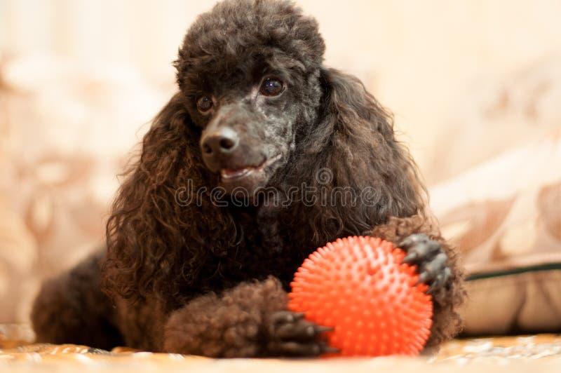 De zwarte poedel is met een rode bal royalty-vrije stock foto