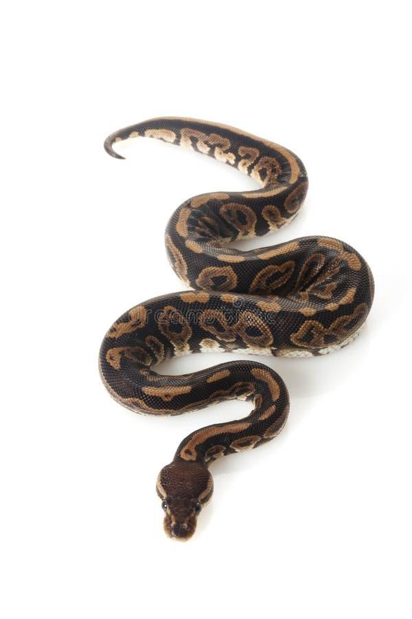 De zwarte python van de pastelkleurbal royalty-vrije stock foto's