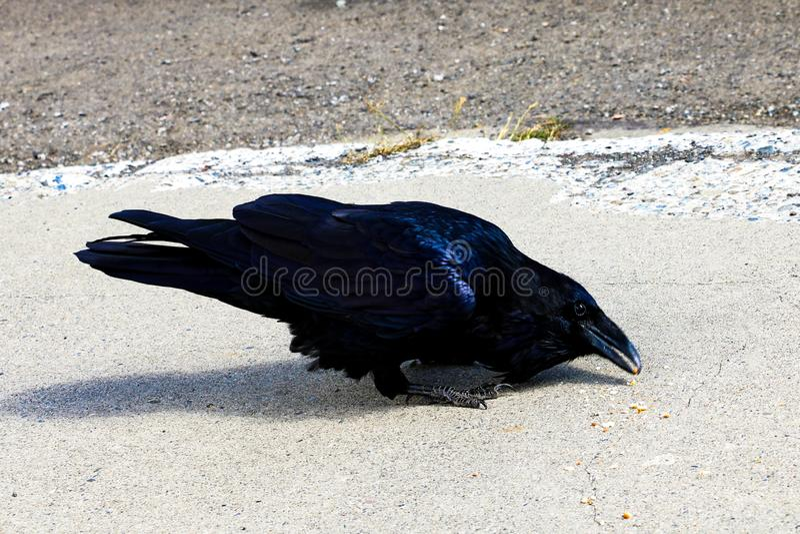 De zwarte raaf zit op de weg en eet voedsel stock fotografie