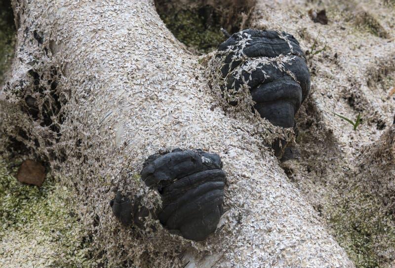 De zwarte rotte in het moeras polypore op de boomstam van een berk Het Gebied van Arkhangelsk Russische Federatie royalty-vrije stock foto