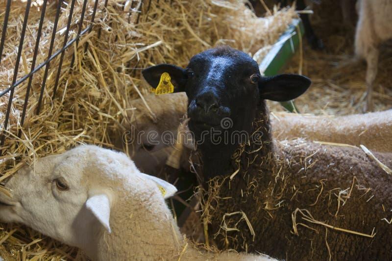 De zwarte schapen en witte sheeps eten hooi, landbouwbedrijf royalty-vrije stock foto's