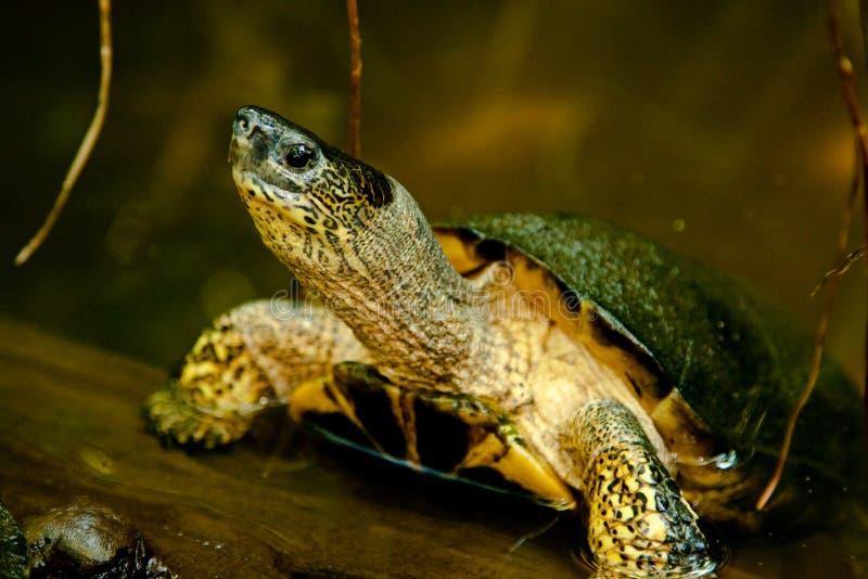 De zwarte Schildpad van de Rivier
