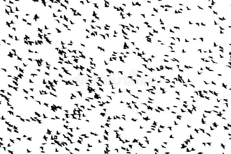 De zwarte silhouetten van talrijke vogels spreiden hun vleugelsvlieg in een troep tegen de wit geïsoleerde hemel uit stock afbeelding