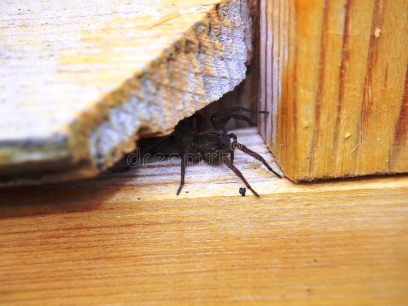 De zwarte spin zit op een houten oppervlakte geleedpotige royalty-vrije stock foto