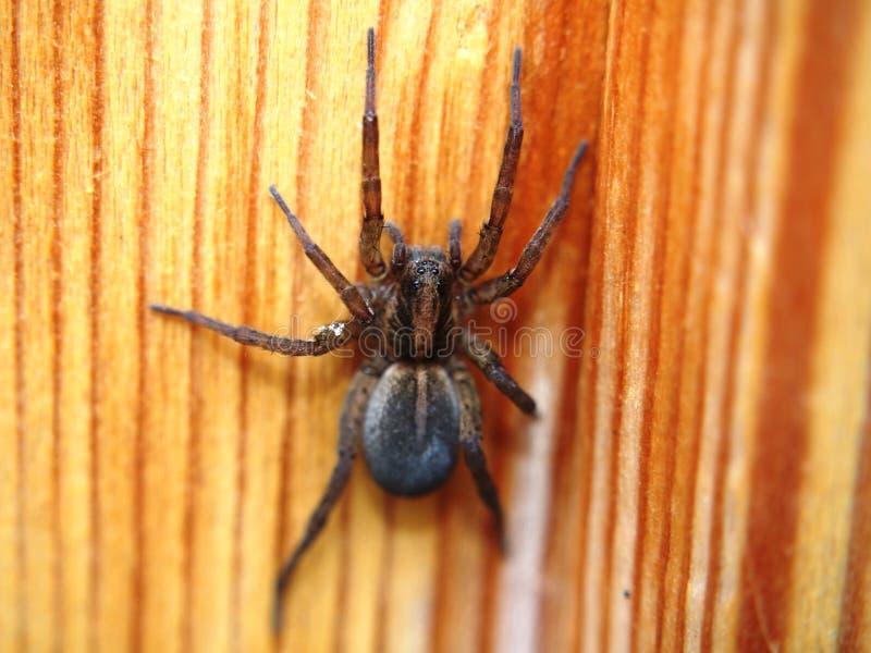 De zwarte spin zit op een houten oppervlakte geleedpotige stock afbeeldingen