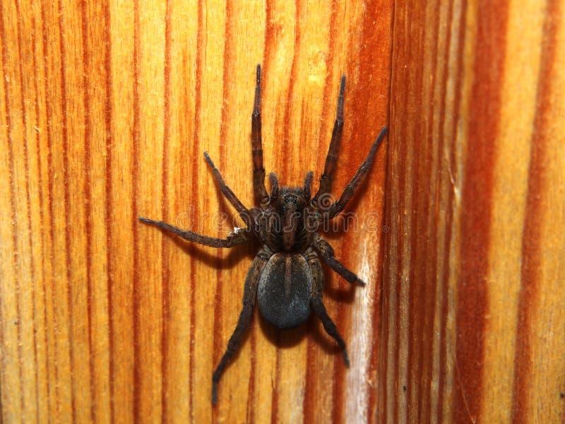 De zwarte spin zit op een houten oppervlakte geleedpotige royalty-vrije stock afbeelding