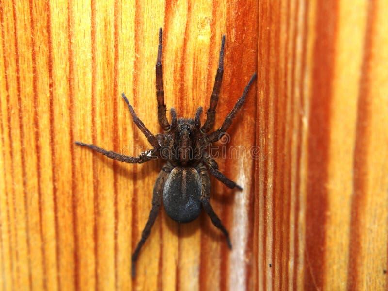 De zwarte spin zit op een houten oppervlakte geleedpotige stock foto's