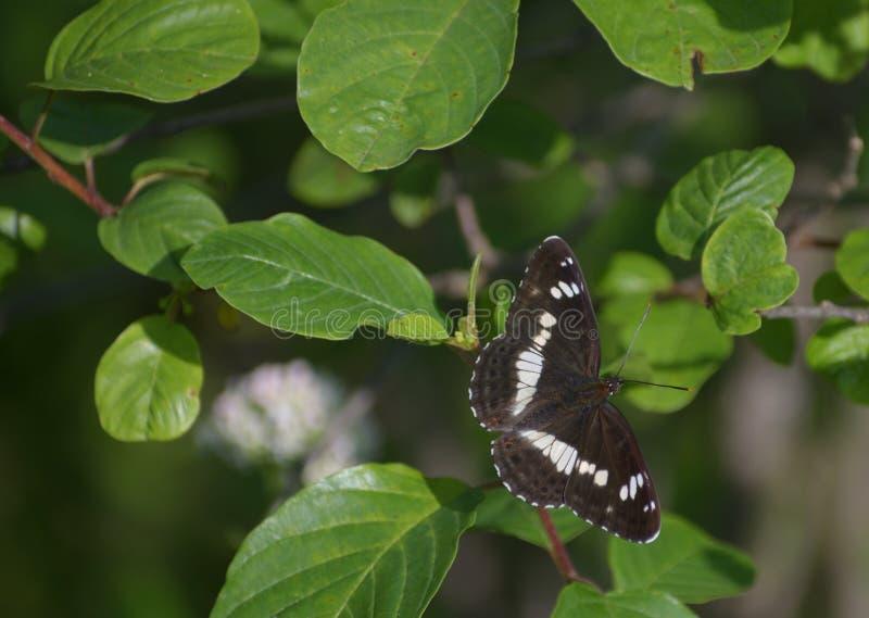 De zwarte vlinder royalty-vrije stock afbeeldingen