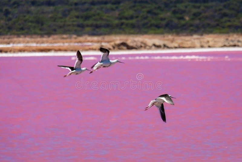 De zwarte vogels van vleugelstelten bij het Roze Meer in Westelijk Australië royalty-vrije stock foto's