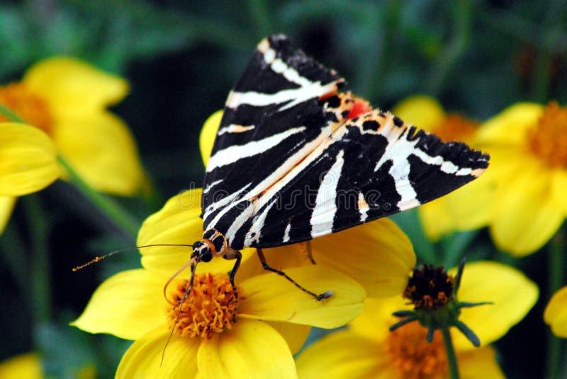 De Zwarte, Witte en Rode Vlinder van Frankrijk in Bretagne royalty-vrije stock foto's