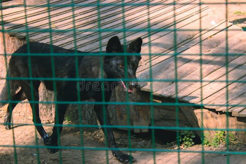 De zwarte wolfszweer van Canis van de houtwolf royalty-vrije stock foto