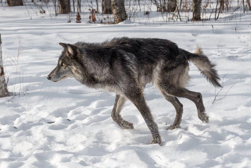 De zwarte wolfszweer van Fasegrey wolf canis loopt links stock foto's