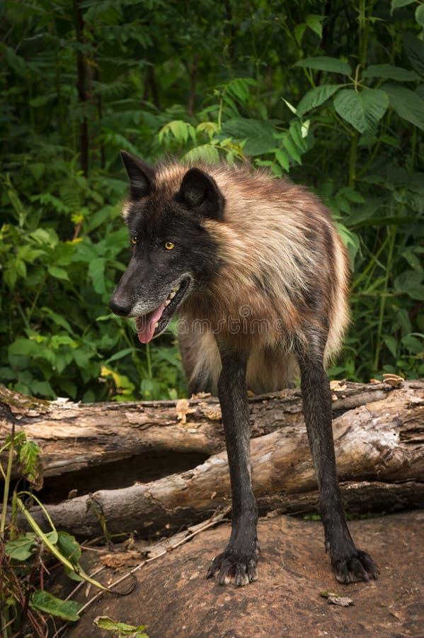 De zwarte wolfszweer van Fasegrey wolf canis over Logboek kijkt Linker stock afbeelding