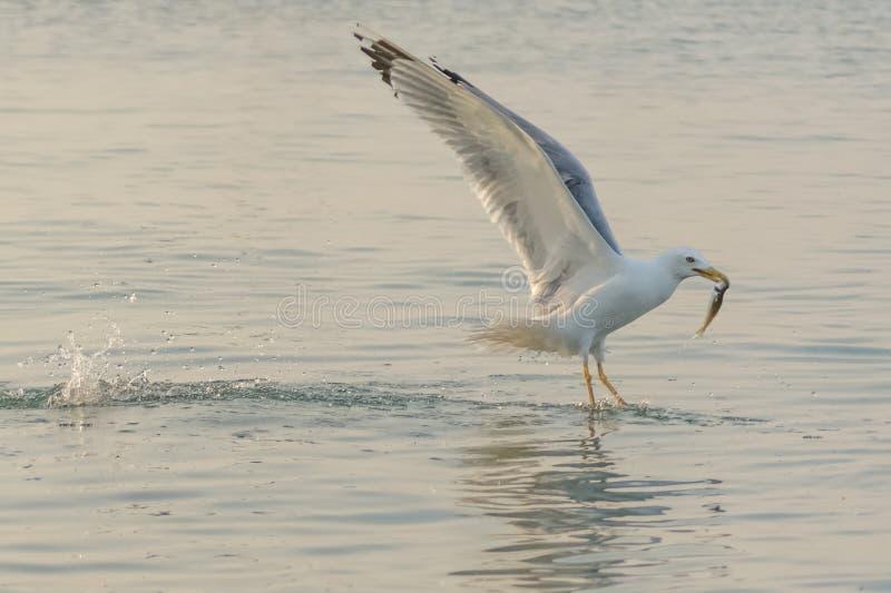 De Zwarte Zee en het leven van de zeemeeuw stock fotografie