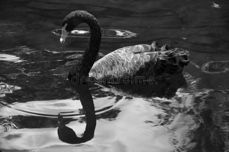 De zwarte zwaan is een grote waterbird stock foto's