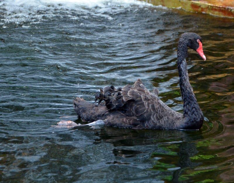 De zwarte zwaan is een grote waterbird royalty-vrije stock foto's
