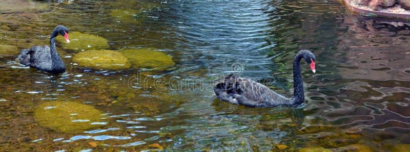 De zwarte zwaan is een grote waterbird stock fotografie