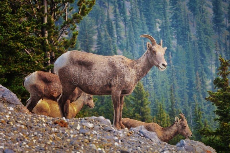 De Zwavelberg van Banff van Bighornschapen royalty-vrije stock foto's