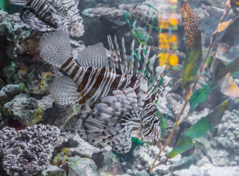 De zwemmende leeuw vist een giftig tropisch mooi aquariumhuisdier met bruine strepen en punten royalty-vrije stock foto