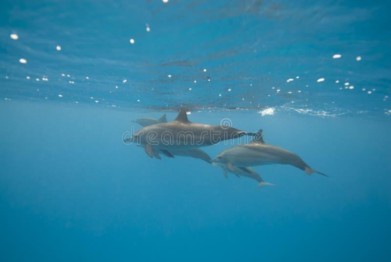 De zwemmende wilde dolfijnen van de Spinner.