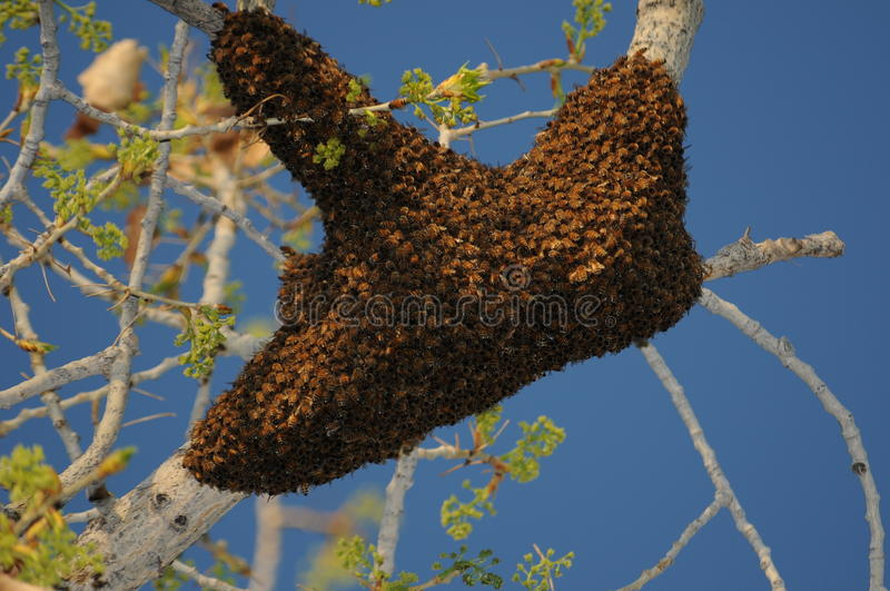 De Zwerm van de Bij van de honing royalty-vrije stock afbeeldingen