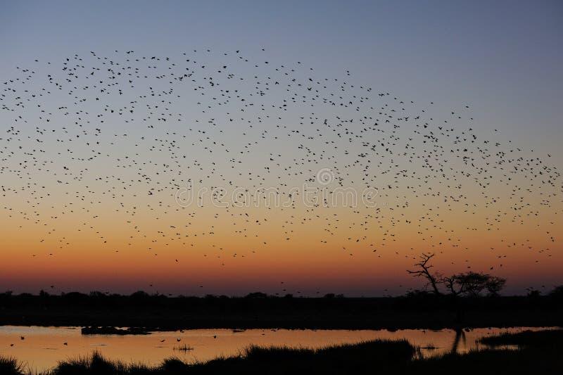 De zwerm van Redbilledquelea bij zonsondergang stock afbeeldingen