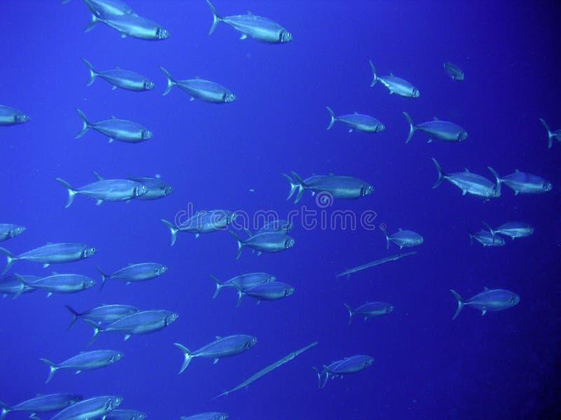 De Zwerm van vissen royalty-vrije stock afbeelding