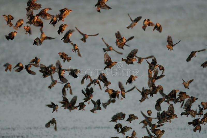 De zwermvlieg van Redbilledquelea omhoog van waterhole, royalty-vrije stock afbeeldingen
