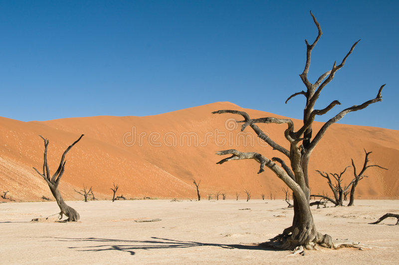 Dead acacia trees in desert royalty free stock image