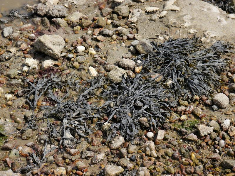 Dead algae on the harbour basin bottom by low tide. Nature royalty free stock photos