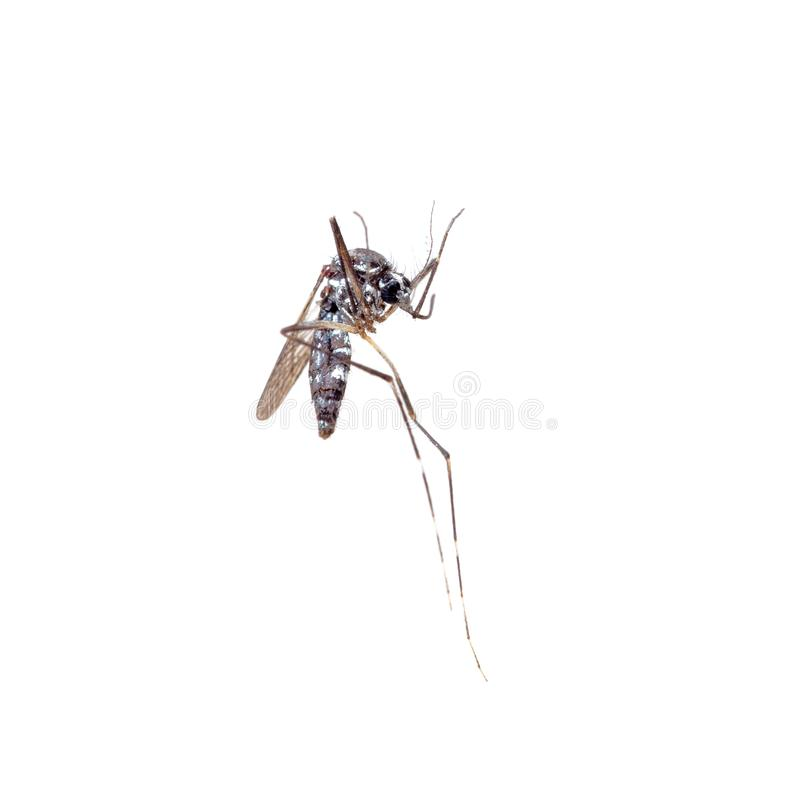 Dead Asian Tiger Mosquito, Aedes albopictus, macro on white background. A transmitter of many viral pathogens, including stock images