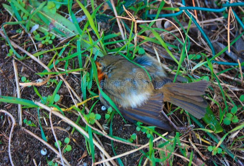 A dead bird lying on the ground lying on the green grass. inert stock images
