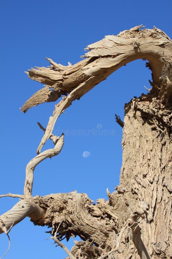 The dead black poplar stock photo