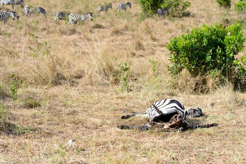 A dead body of a zebra. A zebra dead body is nearly eaten up by the scavengers royalty free stock image