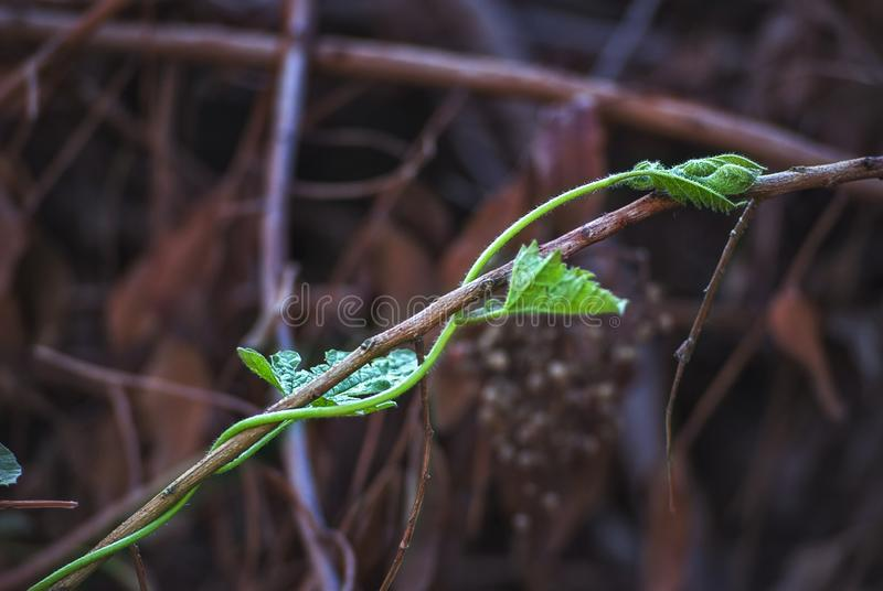 a dead branch against a living branch close up royalty free stock images