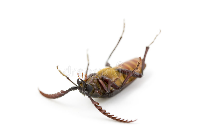 Download Dead Bug, California Prionus Stock Image - Image of bugs, claws: 2906001
