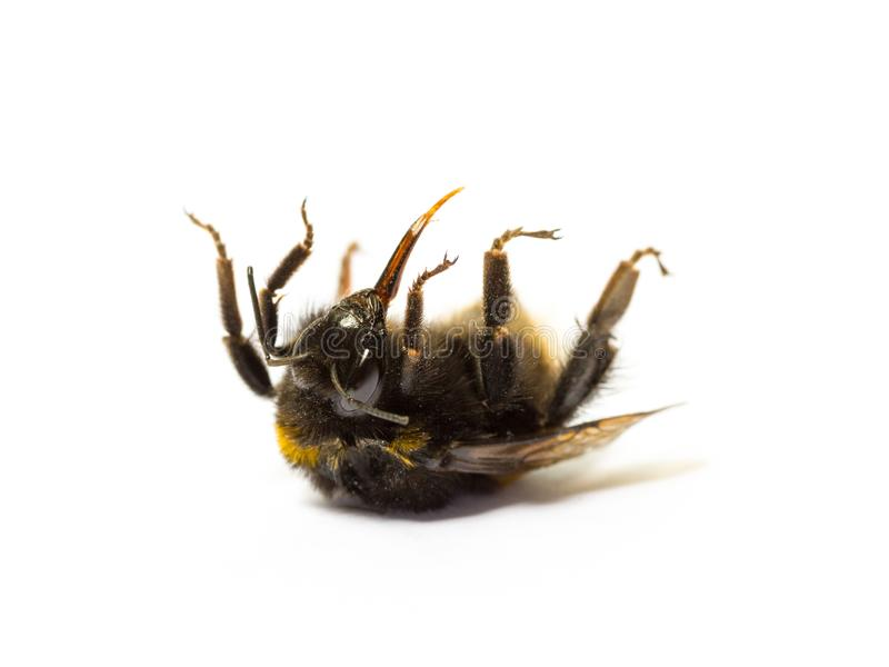 Dead bumblebee lying on her back isolated on white background. Insect death and environmentel protection concept royalty free stock photography