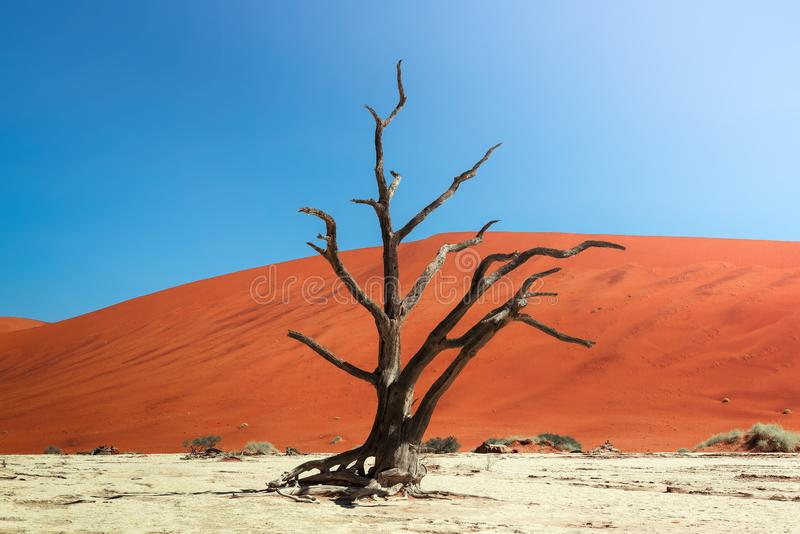 Dead camel thorn tree and the red dunes of Deadvlei in Namibia royalty free stock photography