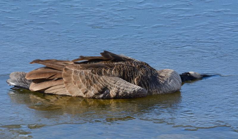 Dead Canada Goose on winter ice royalty free stock photo