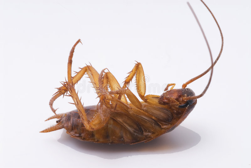 Dead Cockroach royalty free stock photography