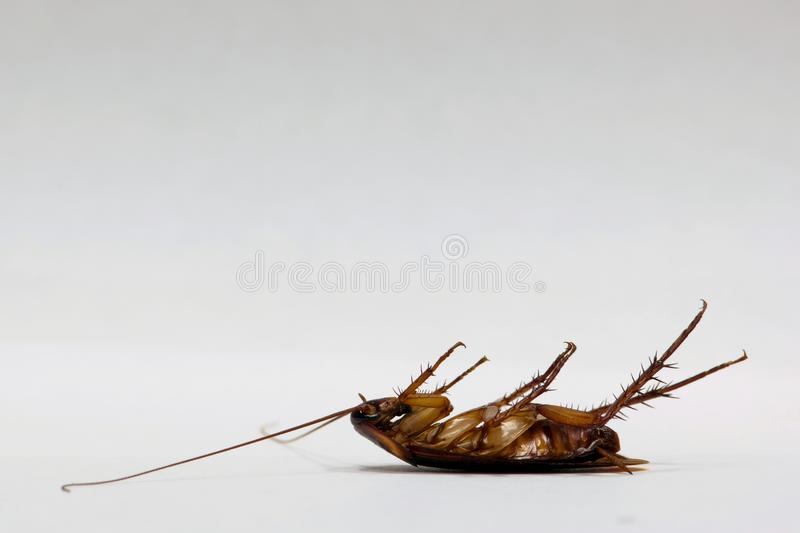 Dead cockroach on a plain white background. royalty free stock image