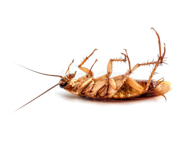 Dead cockroaches  on white. Animals with germs and dirt. Dead cockroaches  on white background. Animals with germs and dirt stock image