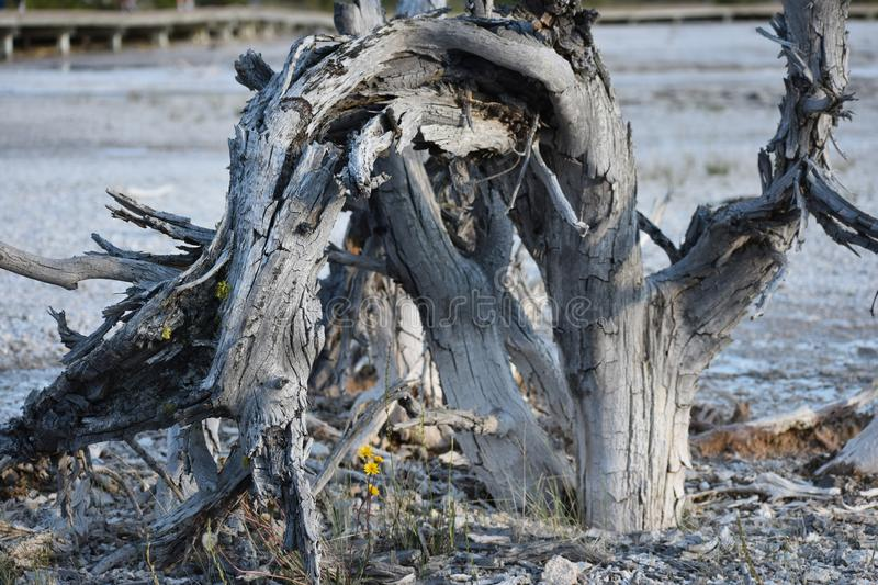 Dead Contorted Tree with Small Yellow Flowers in Geyser Bed royalty free stock photography