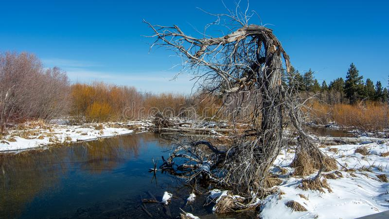 Dead and contorted tree by Taylor Creek near South Lake Tahoe royalty free stock photos