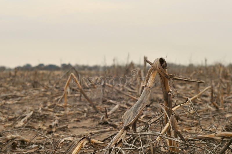 Dead corn royalty free stock image