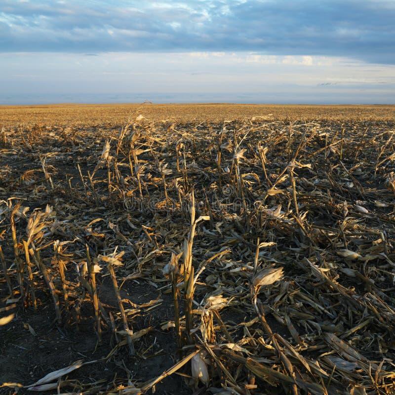 Dead cornfield stock image