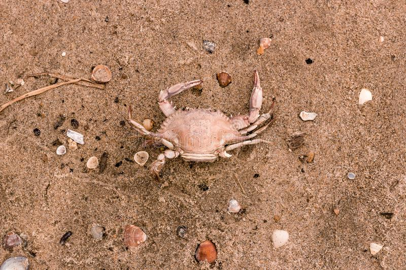 Dead crab in the sand of the beach with shells royalty free stock photography