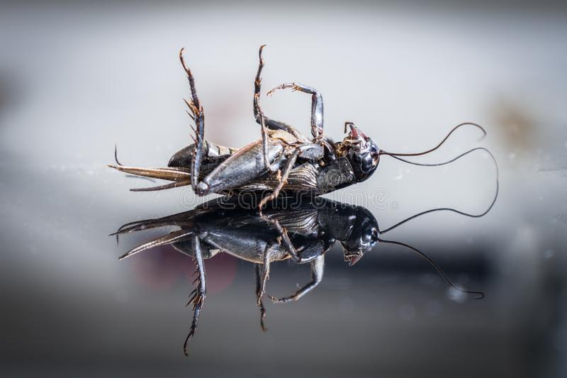 Dead cricket on glass surface stock photography